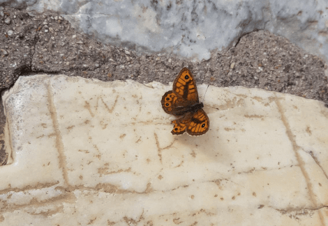 Butterfly in spring with melting ice